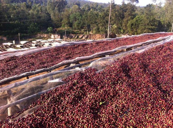 Cherries drying on raised beds: Yirgacheffe, Ethiopia