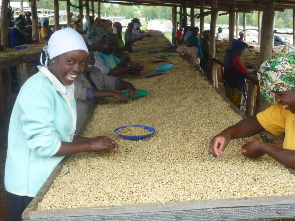 Sorting coffee at Musasa